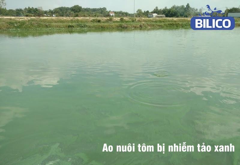 Ao nuôi tôm bị nhiễm tảo xanh